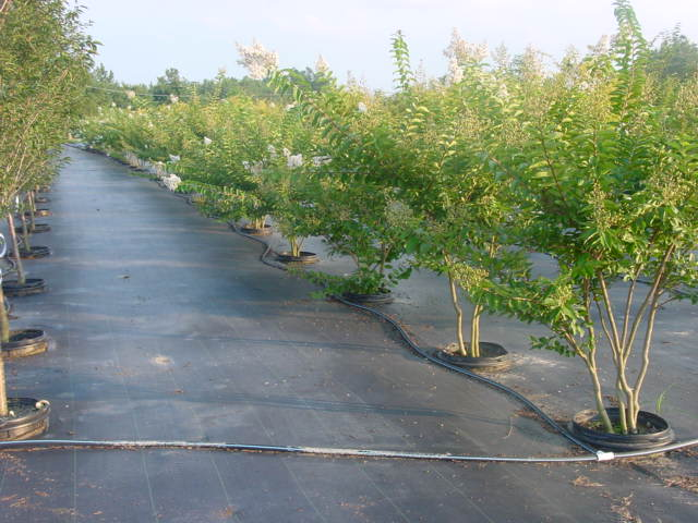 Nursery Trees On Weed Barrier Ground Cloth