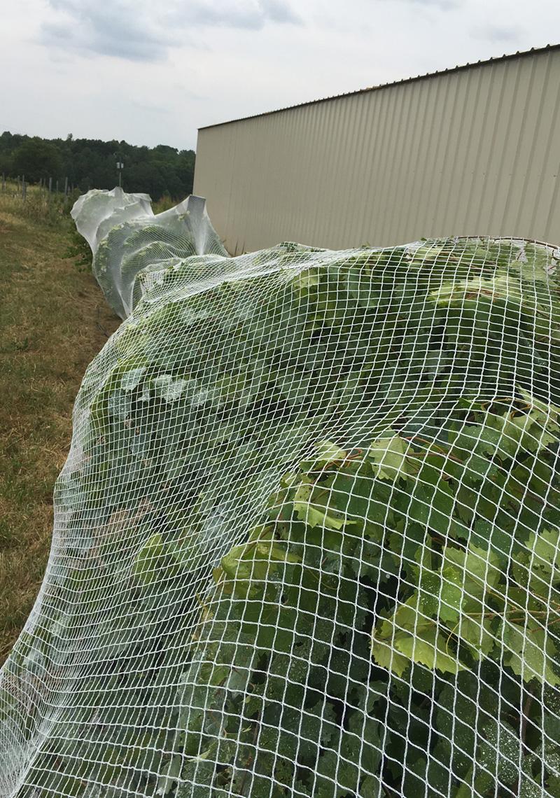 Bird Netting Wraps Around The Vine Or Trellis To Protect